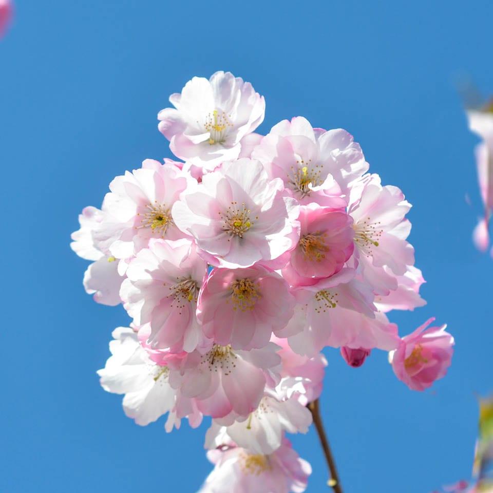 Buy Prunus Accolade Online Southern Woods